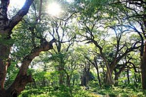 樟树与江西的非常渊源