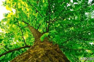 银杏树种植开发前景分析及栽培技术要点