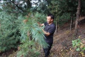 桃源县林业局集中烧毁20余立方松材线虫疫木