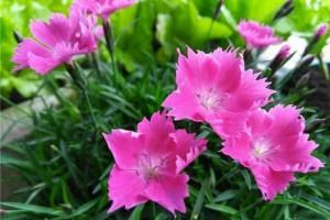 除了文竹,这3种竹子更好看,能开小红花,笔直生长格外精神