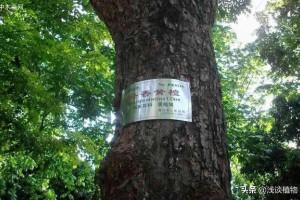 海南黄花梨是梨树吗?有什么用途?