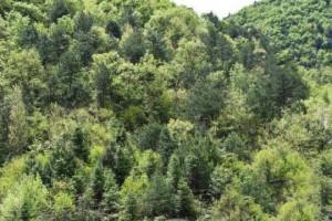 湖北南漳县发现油松种群 分布面积两万多亩