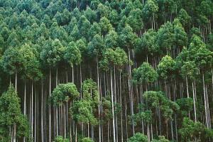 林场直供柳杉、松木原木,规格其全,价格从优!