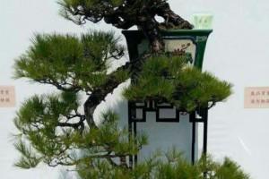 养了个山松,嫁接什么松树做盆景好?