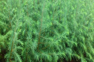 黑松播种育苗栽培关键技术