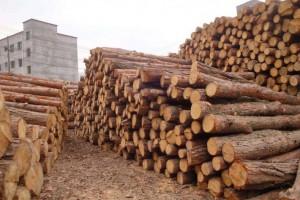 松树松木原木批发