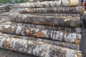 俄罗斯将开放桦木原木出口配额