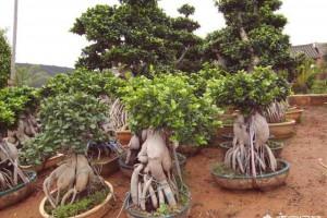 如何让盆景的根系更加发达?