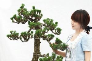 松树柏树盆景如何换盆?该注意什么细节?