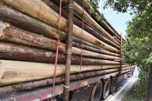 林场大量直供杉木原木
