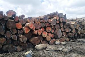 哥斯达黎加进口柏木原木原产地直销