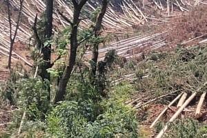 产地大量供应杉木原木
