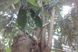 金丝楠木树高清图片大全