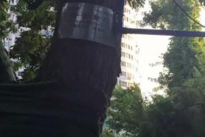 中国最大最贵的黄花梨树,近40名保安24小时保护