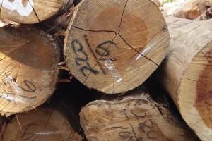 印巴柚木原木原产地批发