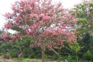 海南常见的40种树木介绍,今天涨见识了