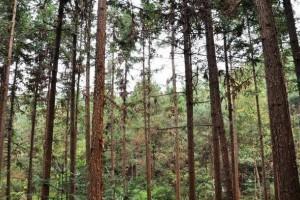 杉木速生丰产林经营技巧—这五种特征出现,杉木就必须更新砍伐了