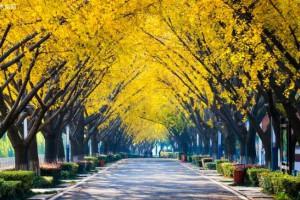 银杏树移栽多年,叶片小而不展,一直长势不好,怎么回事儿?