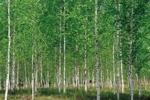 杨木木材的作用,你知道哪些?