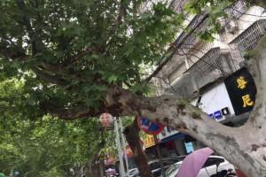 梧桐树象征什么精神