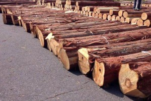 日本檜木刨切原木30公分以上