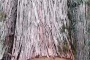 大径柏树木料12到30公分