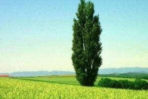 世界上最大的树,最高的树,最粗的树都是哪些?为何说竹子不是树