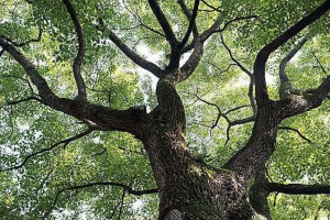 家门口的香樟树,历史的见证着