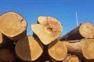 歐洲白腊原木新鮮材