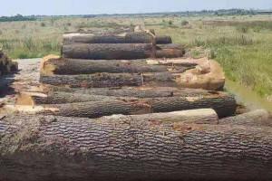 欧洲白腊木原木高清图片