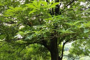 世界最珍贵的十大树木是哪些?