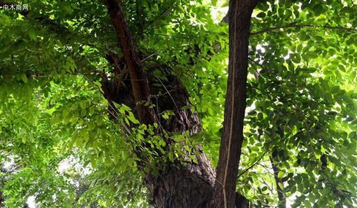 紫檀(拉丁学名:Pterocarpus indicus Willd.)