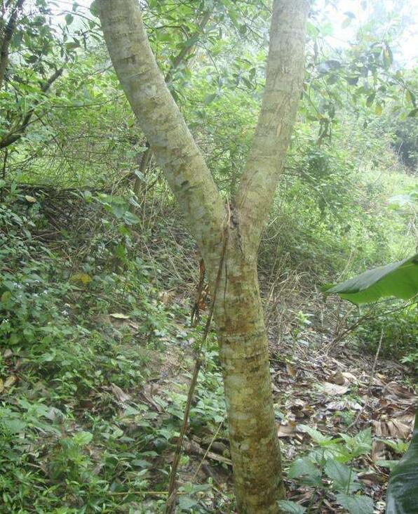 黄花梨,落叶乔木,树高10—25米