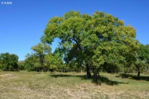 榆木怎么处理不裂?
