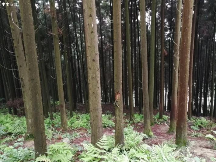 柳杉是一种常绿乔木