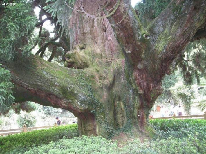 柳杉属裸子植物中的杉科柳杉属