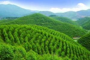 今年前10月越南人工林开发面积累计达17.5万公顷