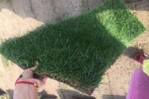 草坪,百慕大与黑麦草混播草坪