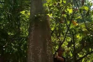 印尼轻木原木源头直供