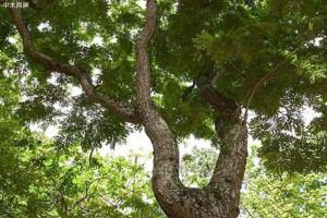 越南大红酸枝怎样种植?