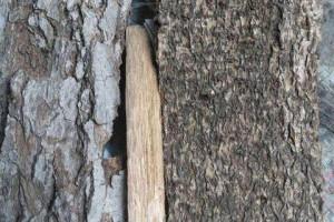 求购:楠树皮