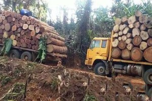 缅甸勃固省:坚决打击红木走私,军方参与,深入森林抓捕走私团伙!