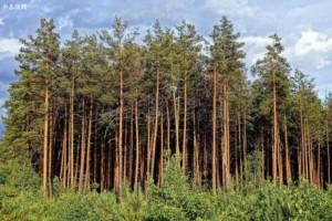 杉木的悠久历史
