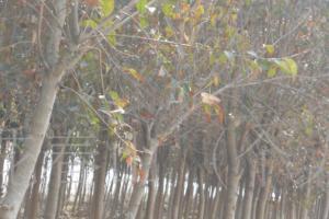 苗木直销各种规格高杆女贞、银杏、紫薇等苗木