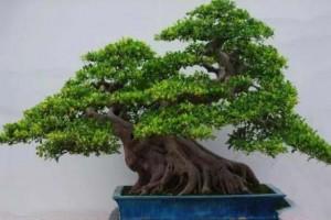 如何让榕树的头变大?