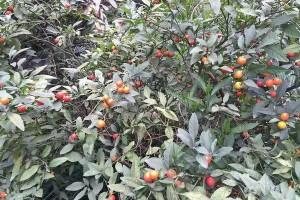 """它叫野樱桃也叫吉庆果,是""""有毒植物"""",但药用和观赏价值高"""