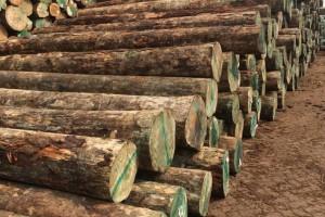 采购:新西兰无节松原木