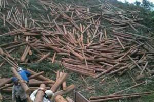 广西每年提供的木材占全国用材总量的近三分之一左右