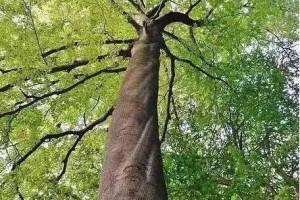 榉木:无榉不成具,被忽视的经典,黄花梨在它面前也要称小弟