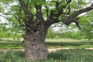 枣树的特点——枣树精神品质